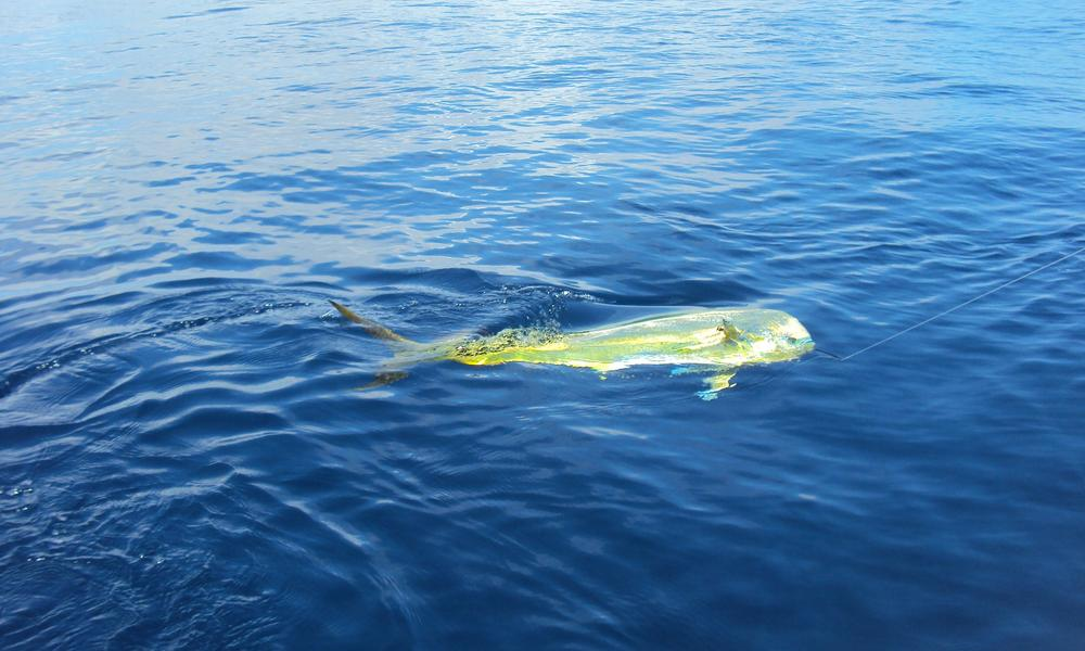 Mahi Mahi in the Sea