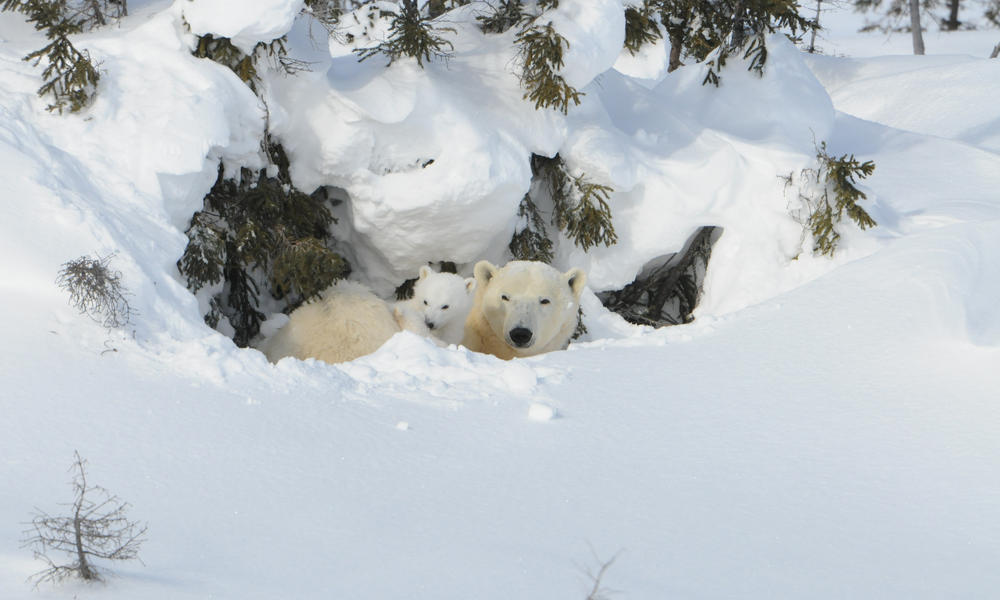 Polar bear and cub in den