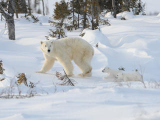 Cubs chasing mother polar bear