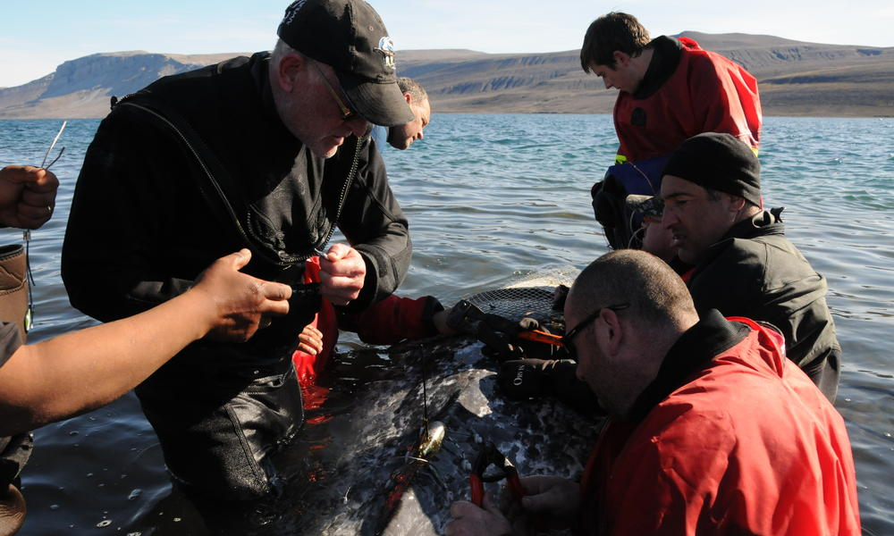 Satellite Tagging a Narwhal