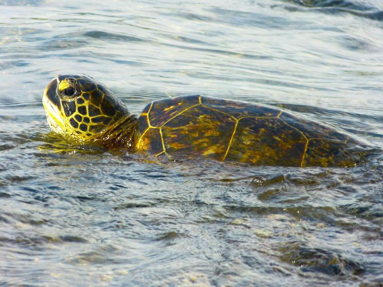Sea turtle %28c%29 gaby gollub 2