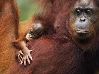 Borneo orang