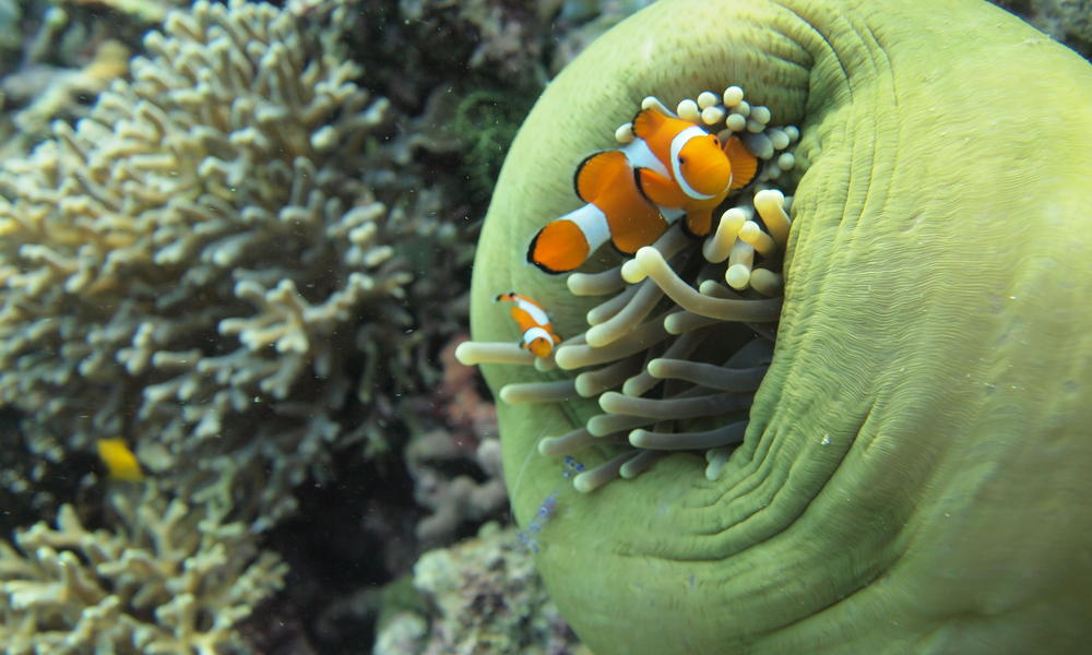 clownfish in anemone Raja Ampat Coral Triangle Stories