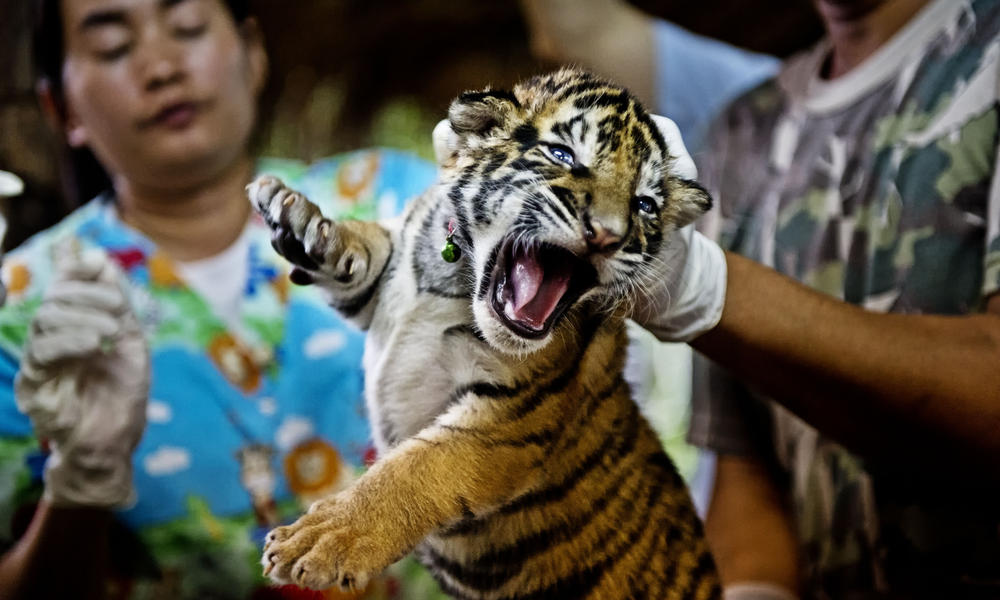Smuggled tiger in market