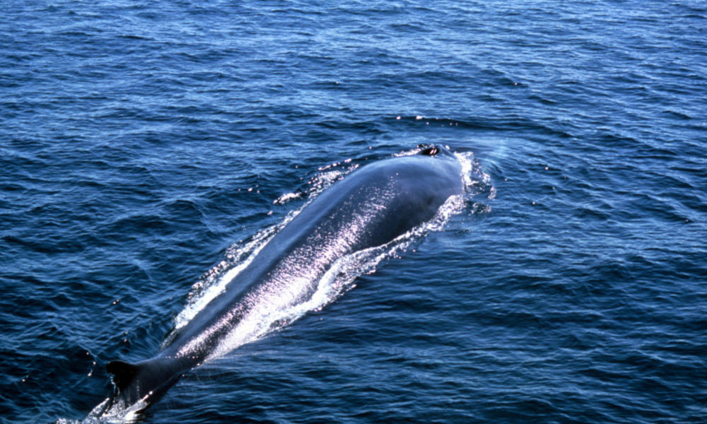 Fin whale why they matter image 204741