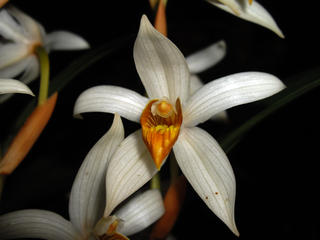 Thick-spiked Coelogyne Orchid