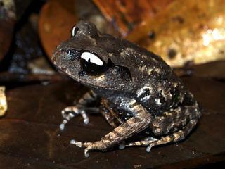 Yin yang frog