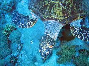 Hawksbill turtle (Eretmochelys imbricata), close-up. Coral reef, Red Sea.