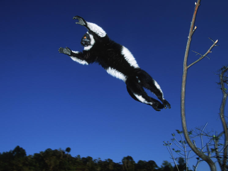 Black and white ruffed lemur flying %28c%29 martin harvey
