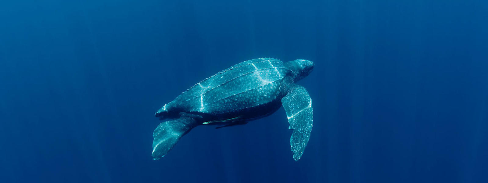 leatherback turtle sea turtles species wwf