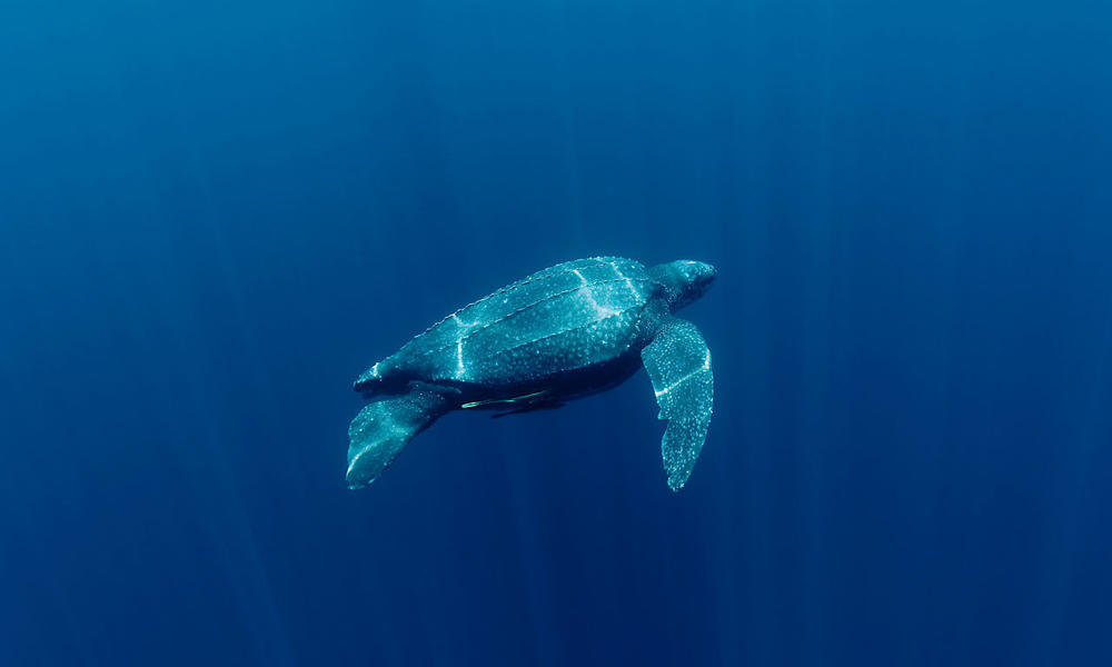 Leatherback turtle (Dermochelys coriacea) underwater. Kei Islands, Moluccas, Indonesia. 21 November 2009