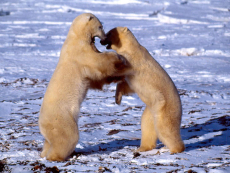 Polar bear fighting