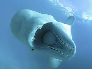 Beluga Facts travel blog