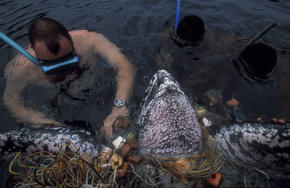 Unsuccefull attempt by a diver to rescue a Leatherback turtle (Dermochelys coriacea) caught in a net. After days of struggle, it finally drowned after resurfacing a few times. Principe, Sao Tome and Principe. (end 1999). During the reproduction season, fi