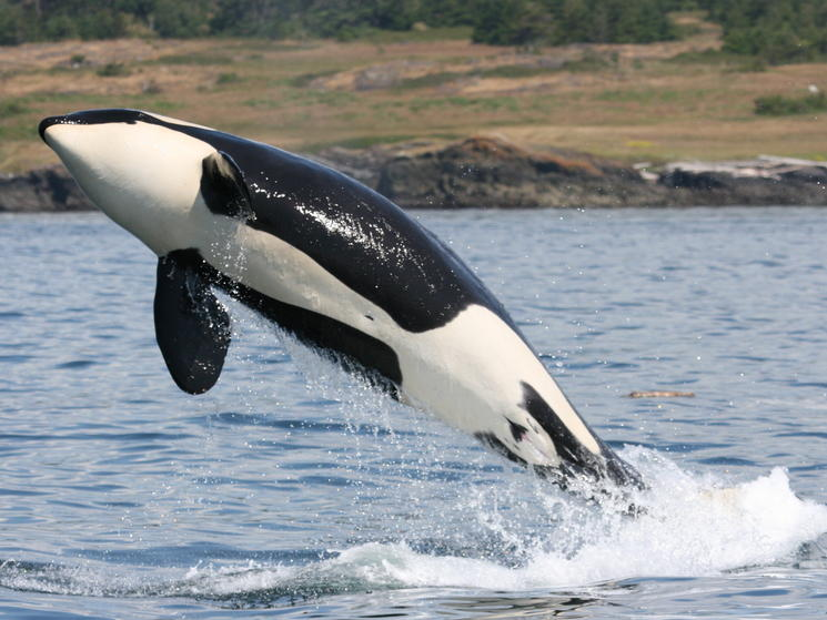 Leaping_orca_(c)_natalie_bowes_wwf-canada