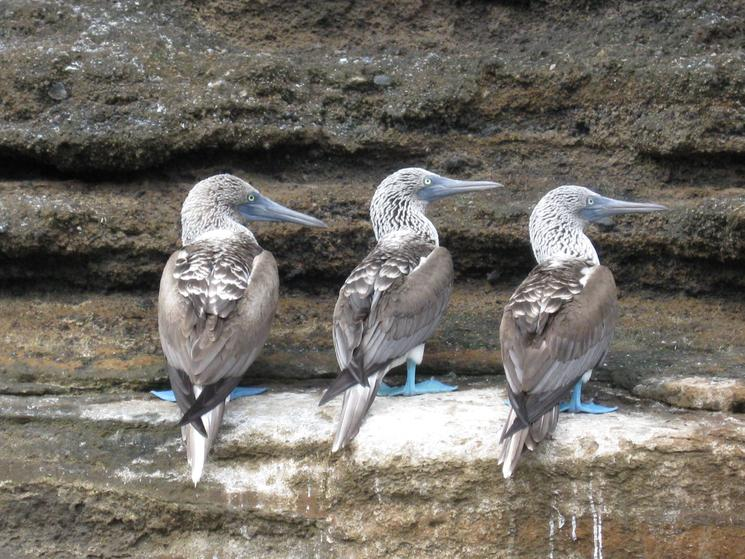 Galpagos blue footed trio marsea nelson