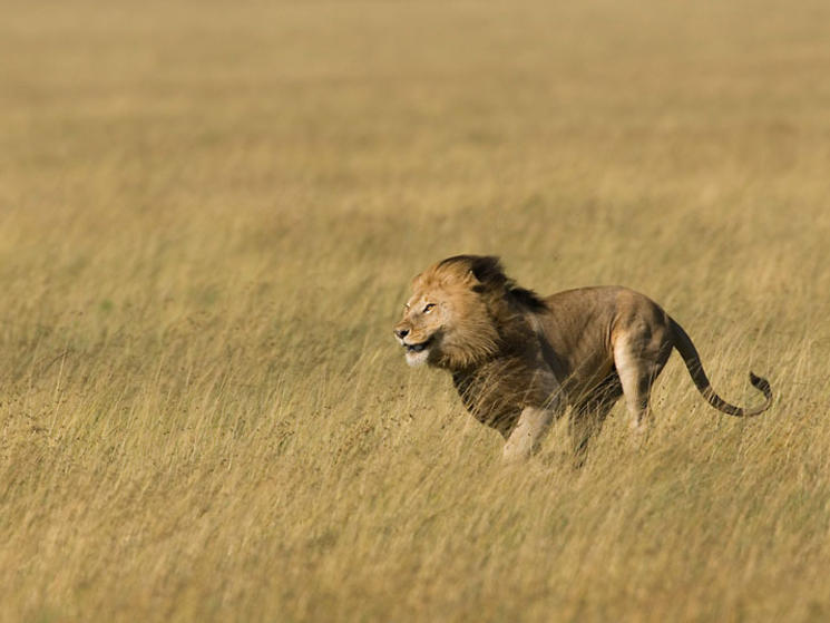 Ten Interesting Facts about Lions | Blog Posts | WWF