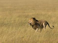 Lion_running
