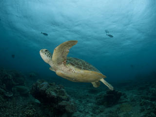 Green Turtle, Malyasia