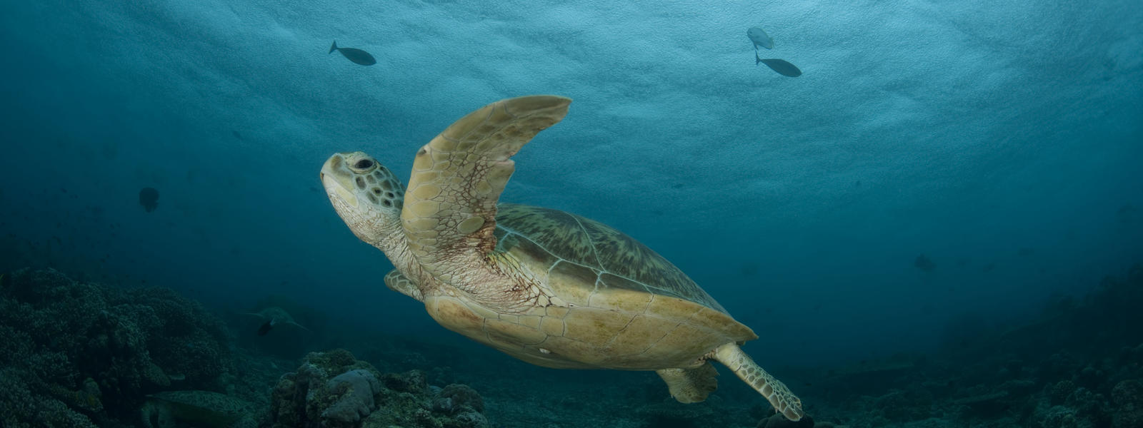 green turtle sea turtles species wwf