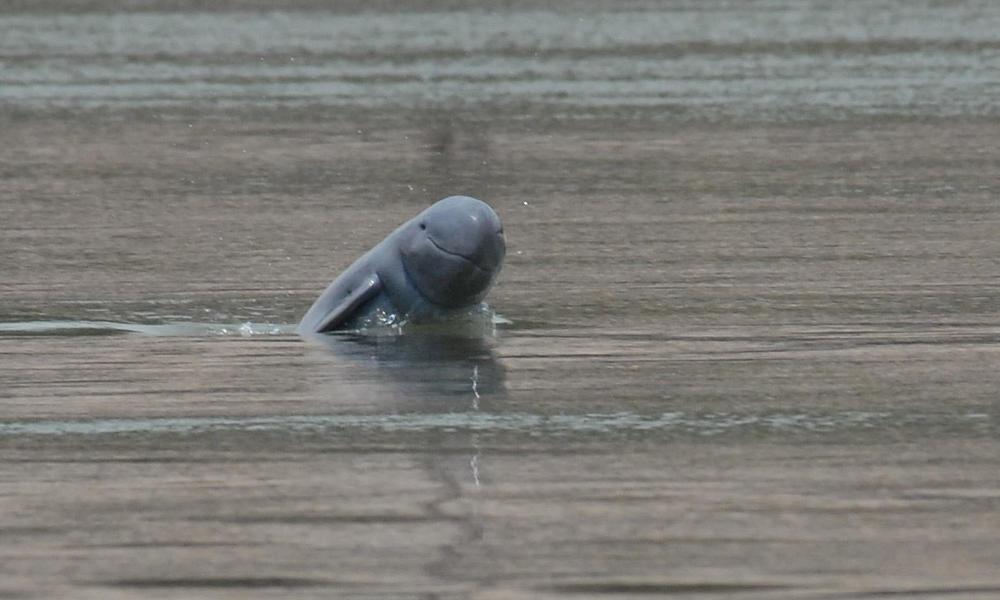 Irrawaddy dolphin 1-3-13 233179
