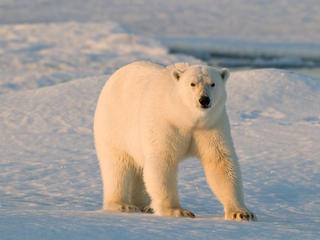 Polar Bear Facts travel blog