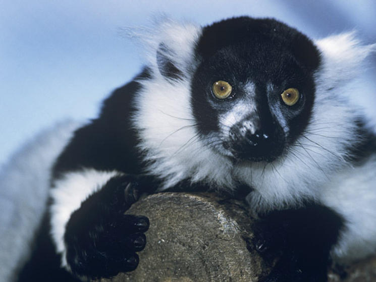 Lemur_close_up_(c)_david_lawson_wwf-uk