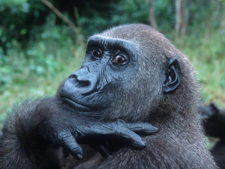 Gorilla harvey