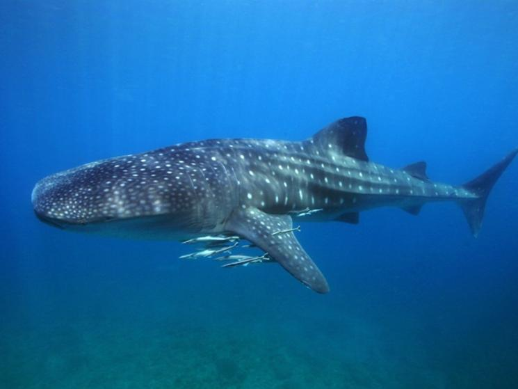 Whale shark philippines tourism