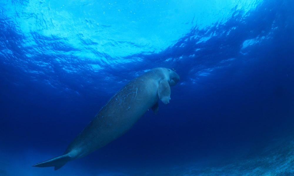 Dugong (Dugong dugon), Indo-Pacific Ocean