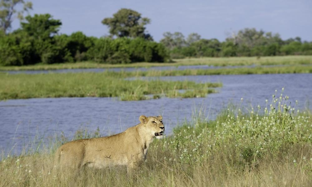 Lioness savuti channel dana allen wilderness safaris