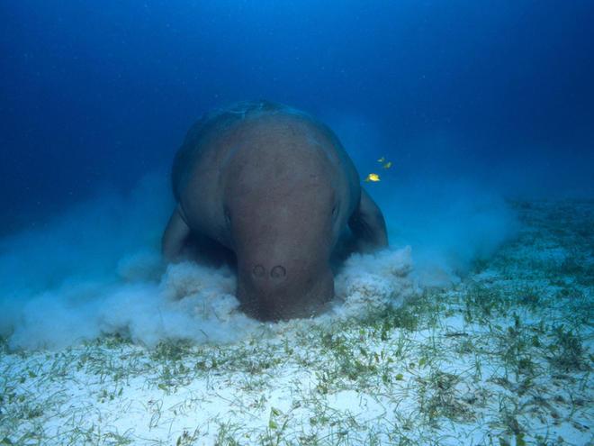 Dugong dugon Dugong Indo-Pacific Ocean