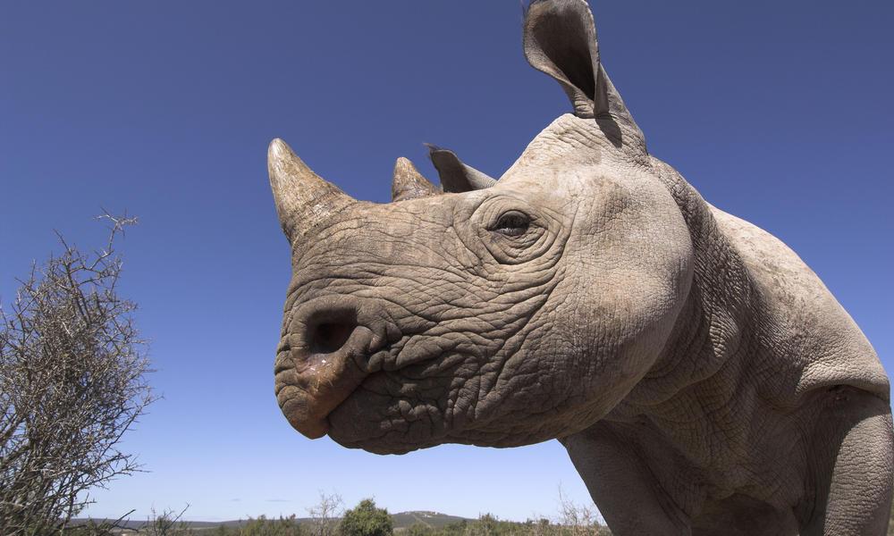 black rhino, South Africa