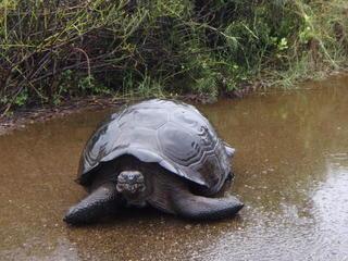 Tortoise Galapagos Slideshow travel blog