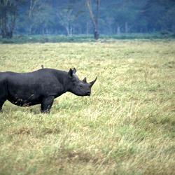 Black rhino 8.6.2012 threats hi 203212