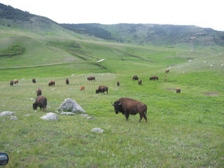 Bison in Northern Great Plains