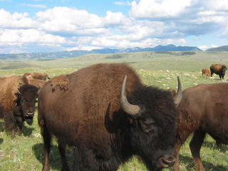 Bison on Northern Great Plains