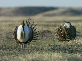 Male greater sage grouse (Centrocercus urophasianus) displays his feathers and dances for the female as part of the mating ritual. WWF project site, Montana, Northern Great Plains, United States