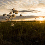 tundra and cotton grass near bristol bay alaska