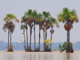 Palma real  Lago Rogaguado  Beni WWFBolivia  Omar Rocha