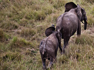 An aerial view of a two elephants in Gabon.