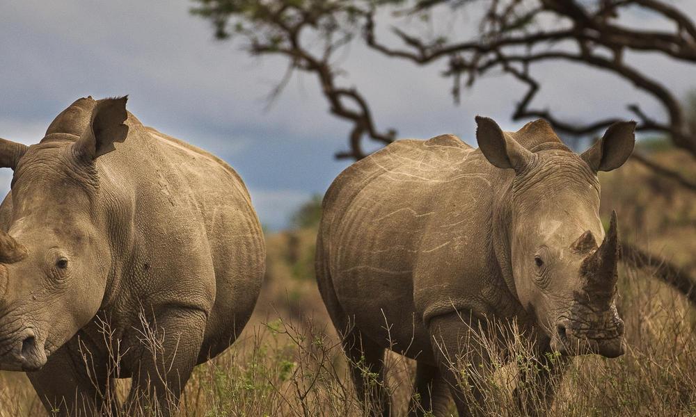 rhinos hero 2 298961