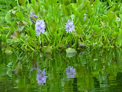 water hyacinth Amazon travel