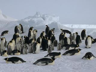 Antarctica Emperor Penguin Colony