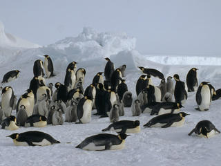 Antarctica Emperor Penguin Colony