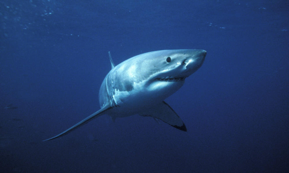 Great White Shark 111754