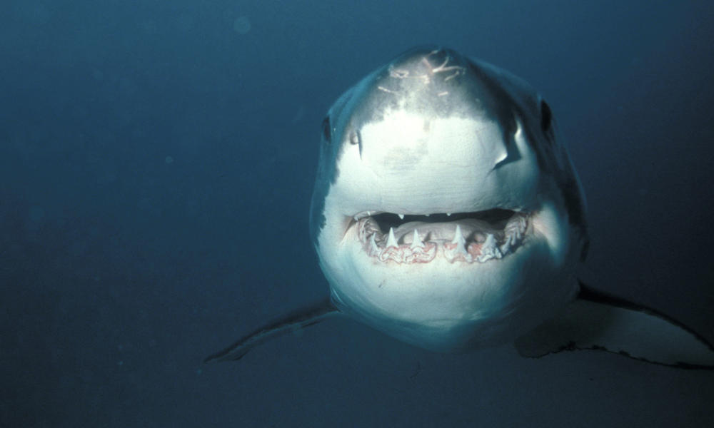 Great White Shark front 111753