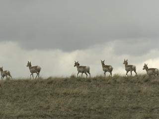 A small herd of pronghorn (Antilocapra americana) cross over a hilltop as a storm brews overhead. Montana, Northern Great Plains, United States