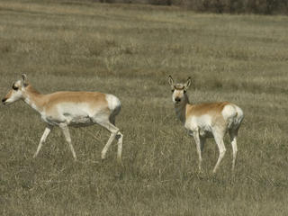 Two pronghorn (Antilocapra americana) in a field. Montana, Northern Great Plains, United States