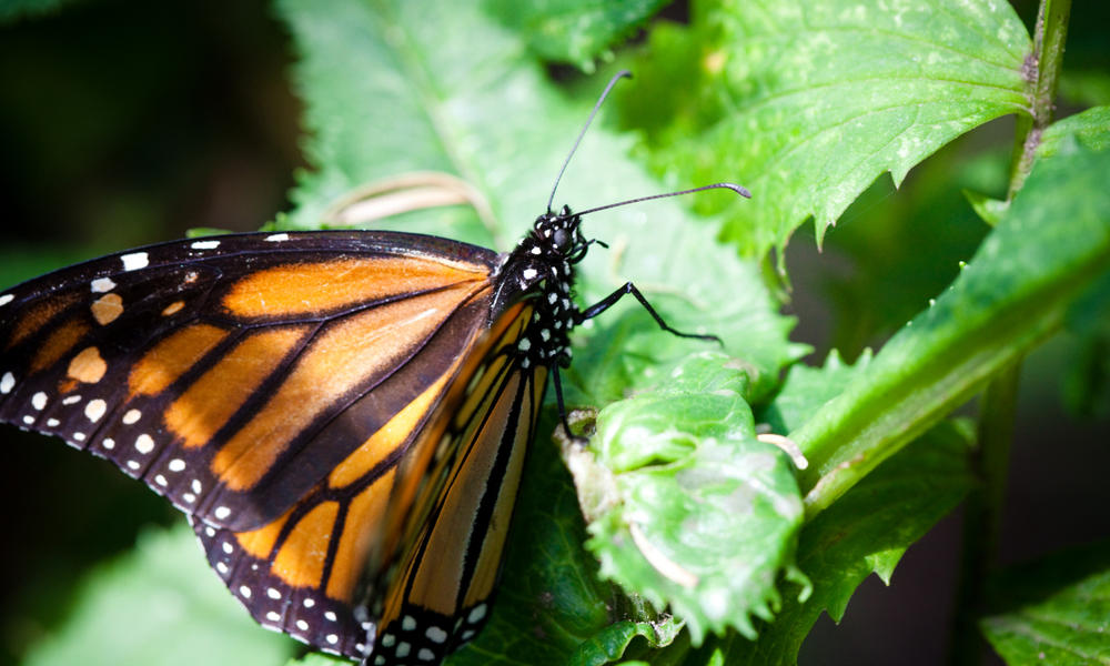 monarch butterfly 293172